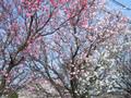 2005年 4月 芝桜 1
