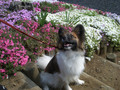 2005年 4月 芝桜 9