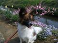 2005年 4月 芝桜 10