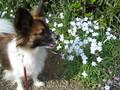 2005年 4月 芝桜 11