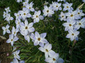 2005年 4月 芝桜 12
