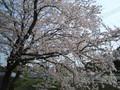 2005年 4月 芝桜 14