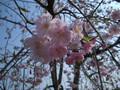 2005年 4月 芝桜 15