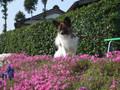 2005年 4月 芝桜 16