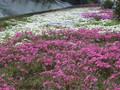 2005年 4月 芝桜 18
