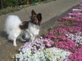 2005年 4月 芝桜 19