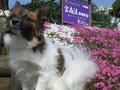 2005年 4月 芝桜 20