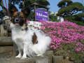 2005年 4月 芝桜