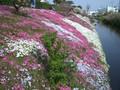 2005年 4月 芝桜 22
