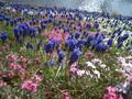 2005年 4月 芝桜 23