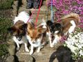 2006年 4月 芝桜 5