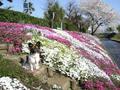 2006年 4月 芝桜 19